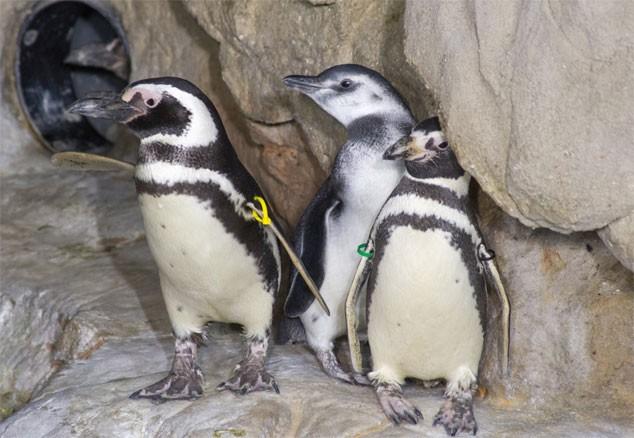blogga 1254, acquario genova, pinguino